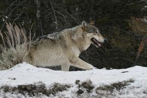 Gray Wolf near Undine Falls Yellowstone NP