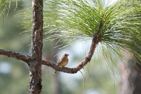 Bachman's Sparrow in Long-leaf Pine habitat