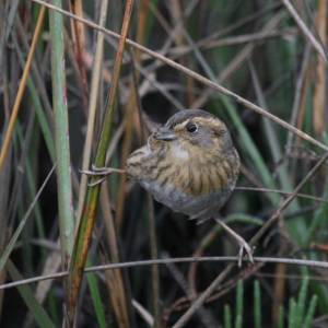 Nelson's Sharp-tailed Sparrow - Acrobat of the Marsh