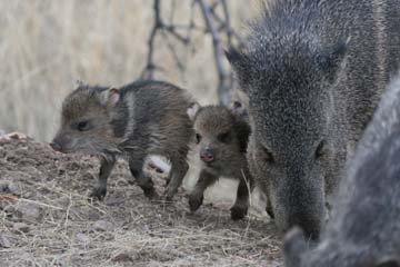 Week-old Javelinas catch up with the herd