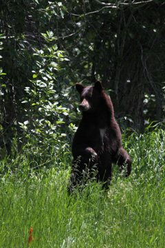 Black Bear Mother on Alert