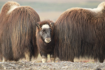 Young Muskox peers out at the world...