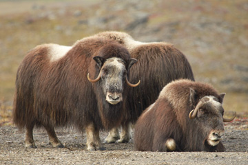 Muskox in Nome