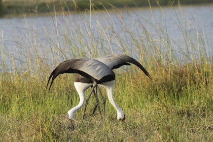 Startling Symmetry of Wattled Cranes