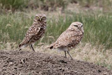 MT WWF 12 B Burrowing Owl adult w chick crop