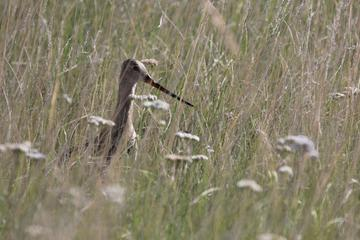 MT WWF 12 Marbled Godwit grass