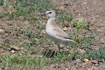 MT WWF 12 Mountain Plover