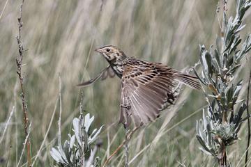 MTPS 12 Bairds Sparrow flight crop T_edited-1