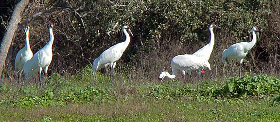 Whooping Crane group Bob Behrstock copy