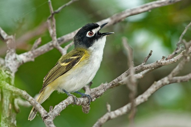 TODO TX Hill Black capped Vireo