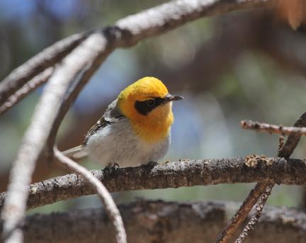 Olive Warbler, Southeast Arizona at Rustler's Park