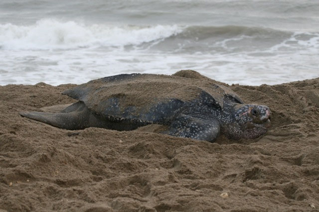 Leatherback Turtle on a Trinidad Beach, photo by Howard Topoff